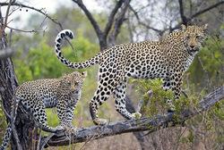 Posterunterlage Leopard 400x600
